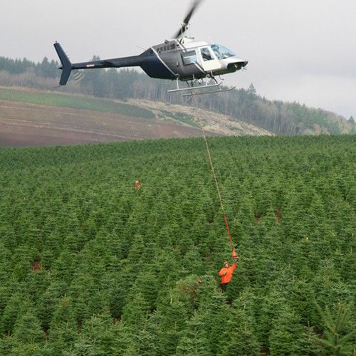 A Northwest Christmas Tree Orchard