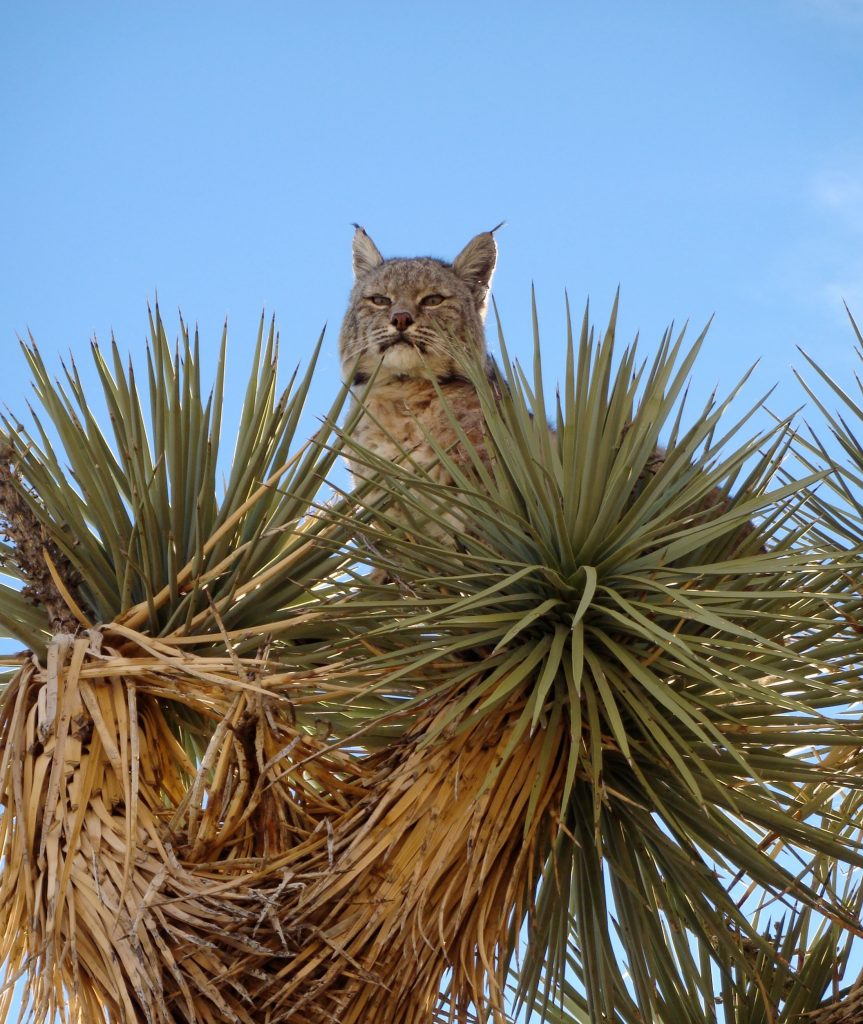 Bobcat research paper