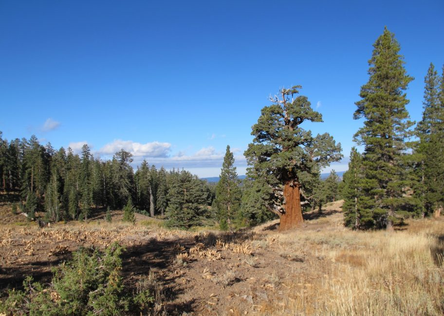 A visit to the oldest juniper tree in America