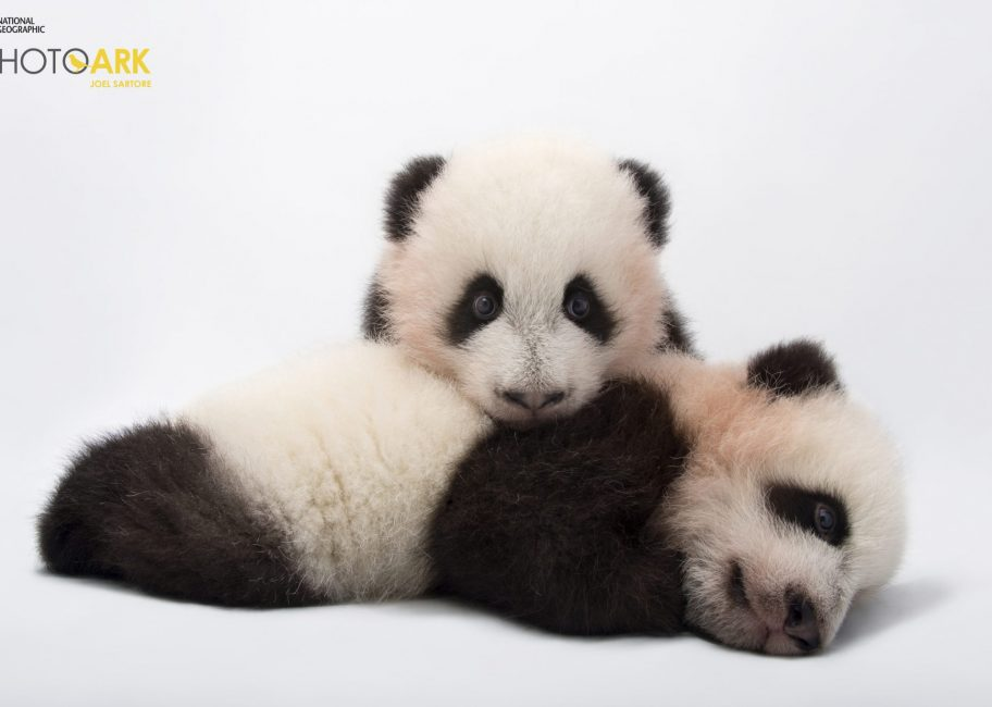 Pandas, frogs and tigers: photographing intimate portraits of endangered species