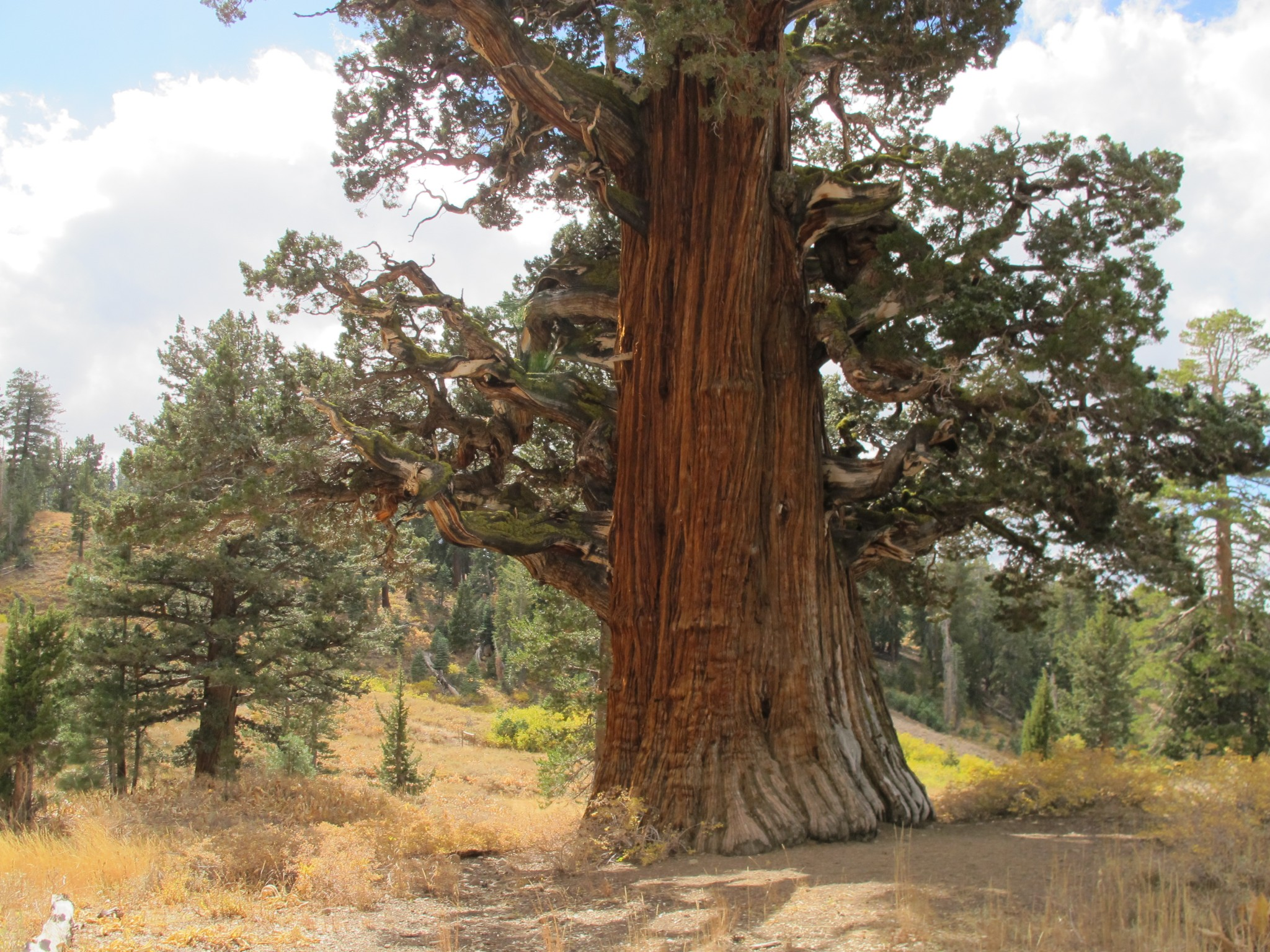 A visit to the oldest juniper tree in america for the for The juniper